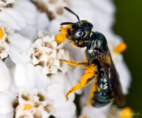 green wasp foraging on white flowers