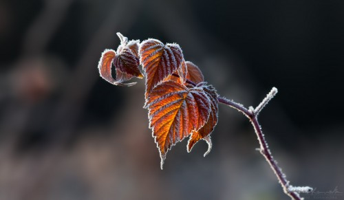 Frost-covered leaves in fall