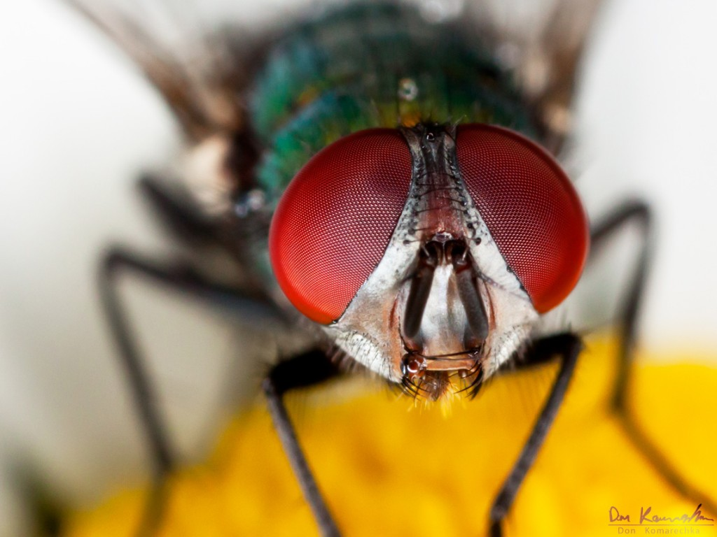 Don Komarechka Photography, Barrie Ontario » Eye to Eye Fly Eyes