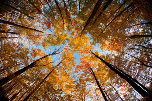 view looking up at forest canopy in fall