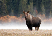 Moose in the Morning Mist